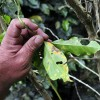 Leaf Rust Disease(Roya) and Rise of Hybrid Cultivars in Coffee History